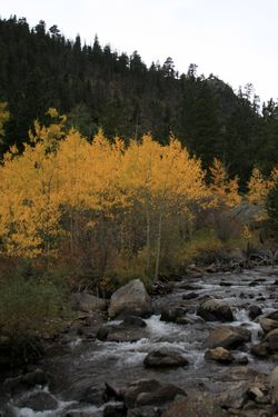 Aspen by the river